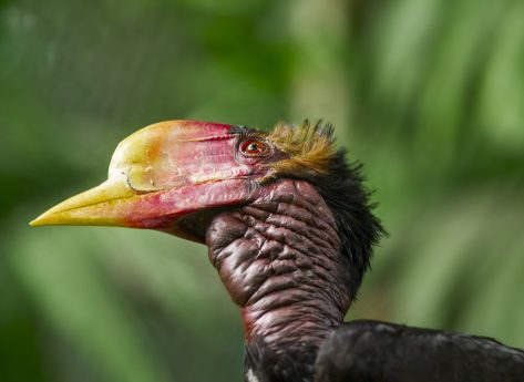 Hornbill head and shoulders side